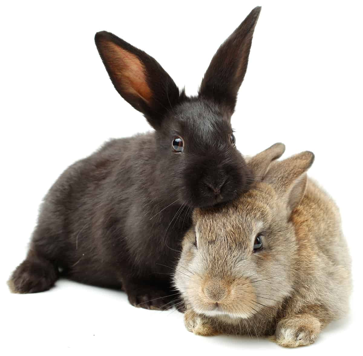 Bunny adoption